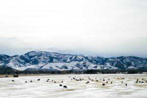 highlands-ranch-cattle